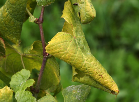 Določitev razmejenih območij zlate trsne rumenice